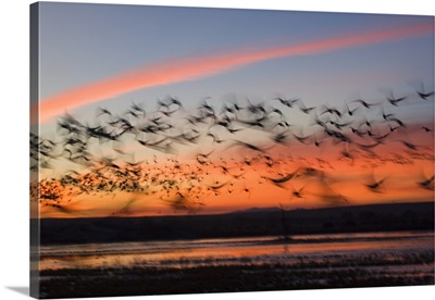 Silhouetted Snow Geese In Flight