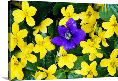 Single Blue Violet Flower (Viola Adunca) In Bloom Among Stream Violet Flowers (Viola Glabella)
