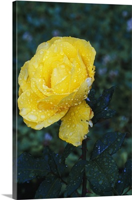 Single dew-covered yellow rose blossom.
