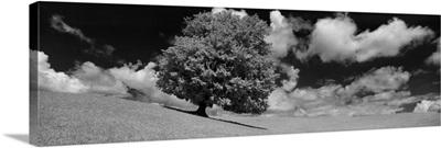 Single Maple Tree