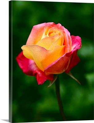 Single Rose Flower Blossom