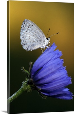 Small blue butterfly on flower blossom, selective focus, Michigan