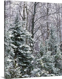 Snow-covered forest, Wisconsin