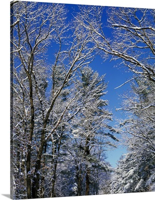 Snow-covered trees against blue sky, Backbone State Park, Iowa