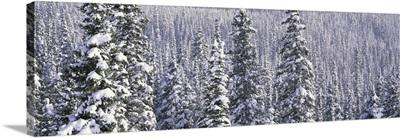 Snow Covered Trees Glacier National Park MT
