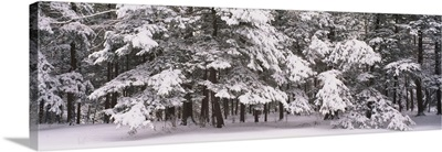 Snow covered trees in a forest, Chestnut Ridge County Park, Orchard Park, New York State