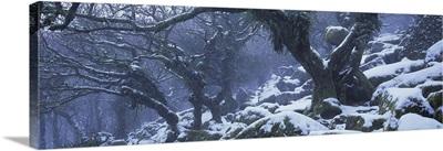 Snow covered trees, Wistmans Wood, Dartmoor National Park, Devon, England