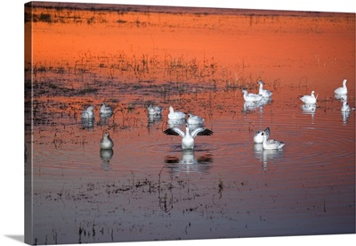 Snow Geese On Water