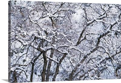 Snow On Cottonwood Trees