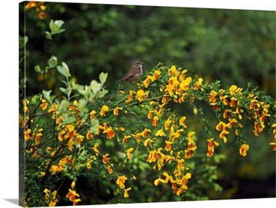 Song Sparrow Bird On Blooming Scotch Broom Plant