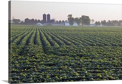 Soy bean field, distant farm buildings, Iowa