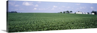 Soybean Field Tama County IA