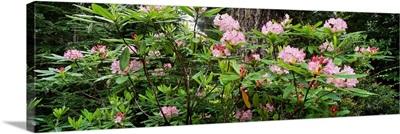 Spring Rhododendron Bloom  Humboldt Co  Redwood Nat'l Pk  CA