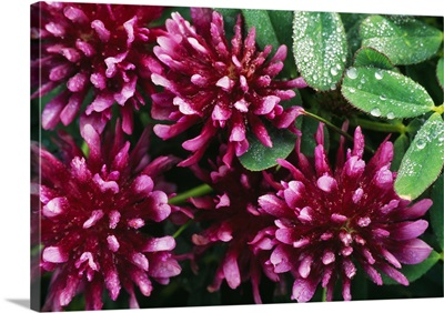 Springbank Clover Flower Blossoms (Trifolium Wormskjoldii)