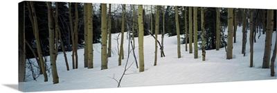Spruce trees among quaking aspen trees in deep snow, Alaska