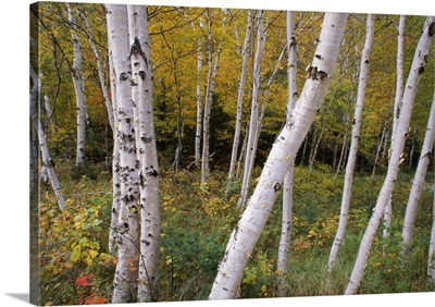 Stand Of White Birch Trees
