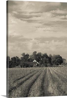 Sugar cane in a field, Emma, Iberia Parish, Louisiana