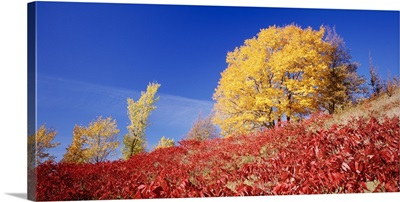 Sugar Maple and Sumac Maplewood State Park MN
