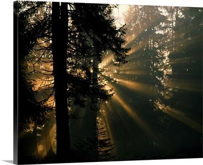 Sunbeams filter through misty evergreen forest, Alaska
