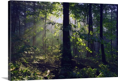 Sunbeams in dense forest, Great Smoky Mountains National Park, Tennessee