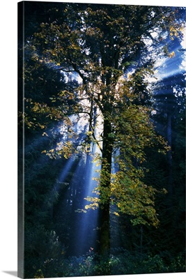 Sunbeams through misty forest, autumn color, Oregon, united states,