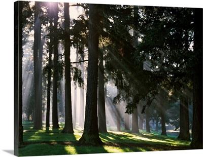 Sunbeams through misty trees, Oregon, united states,