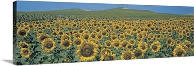 Sunflower field Andalucia Spain
