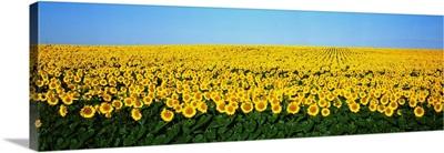 Sunflower Field ND