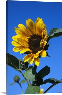 Sunflower in bloom, blue sky.