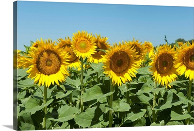 Sunflowers, Cadenet, Vaucluse, Provence-Alpes-Cote d'Azur, France