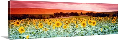 Sunflowers Corbada Spain