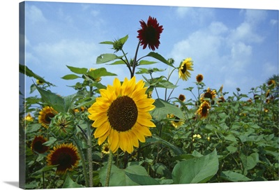 Sunflowers (Helianthus annuus) blooming in field, New York