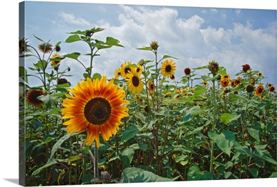 Sunflowers (Helianthus annuus) blooming in field, New York