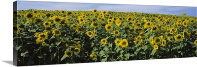 Sunflowers (Helianthus annuus) in a field, Leland, Michigan