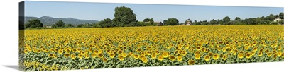 Sunflowers in a field, Cadenet, Vaucluse, Provence Alpes Cote dAzur, France