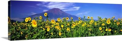 Sunflowers Oshino Yamanashi Japan