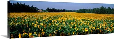 Sunflowers St Remy de Provence Provence France