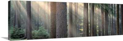 Sunlight shining through trees in a forest, South Bohemia, Czech Republic