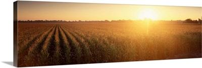 Sunrise Corn Field Sacramento CA