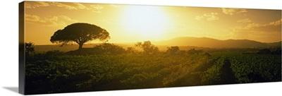 Sunrise over a vineyard, Provence-Alpes-Cote D'azur, France