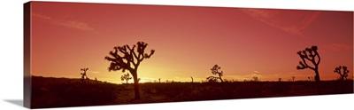 Sunset Joshua Tree CA