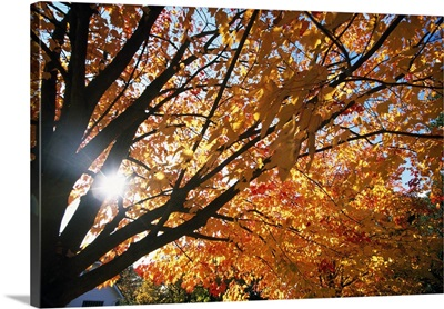 Sunshine Through Autumn Color Tree