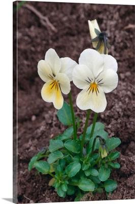 Sweet white violet flowers (Viola blanda) blooming, New York