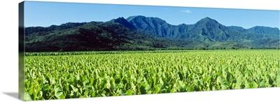 Taro Field Kauai HI