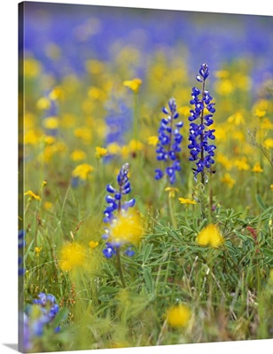 Texas bluebonnet flowers in bloom among yellow wildflowers, selective focus, Texas