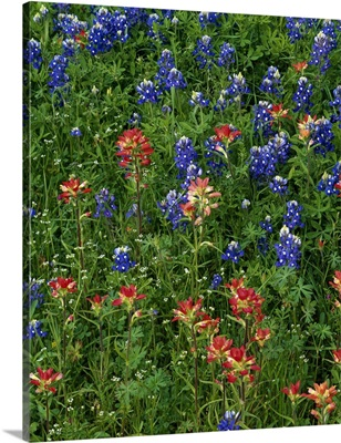 Texas bluebonnets and indian paintbrush flowers in bloom, Texas