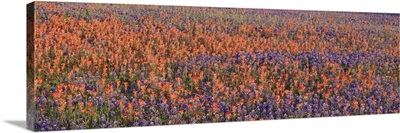 Texas Bluebonnets and Indian Paintbrushes in a field, Texas