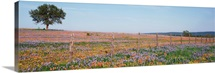 Texas Bluebonnets and Indian Paintbrushes in a field, Texas Hill Country, Texas