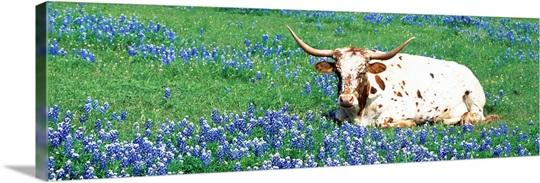 Texas Longhorn cow sitting on a field, Hill County, Texas