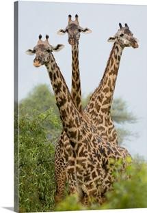 Three Masai giraffe standing in a forest, Lake Manyara, Lake Manyara National Park, Tanzania (Giraffa camelopardalis tippelskirchi)